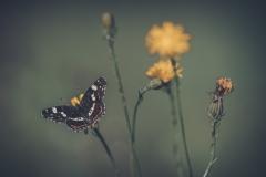 5_Schmetterling